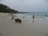 Občas potkáte na pláži i prase (Ko Samet)