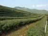 Čajová plantáž, Mae Salong