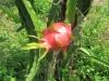Dračí ovoce